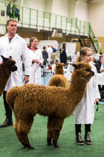 Årets alpakkautstilling er den 8. i rekken av utstillinger siden 2010.